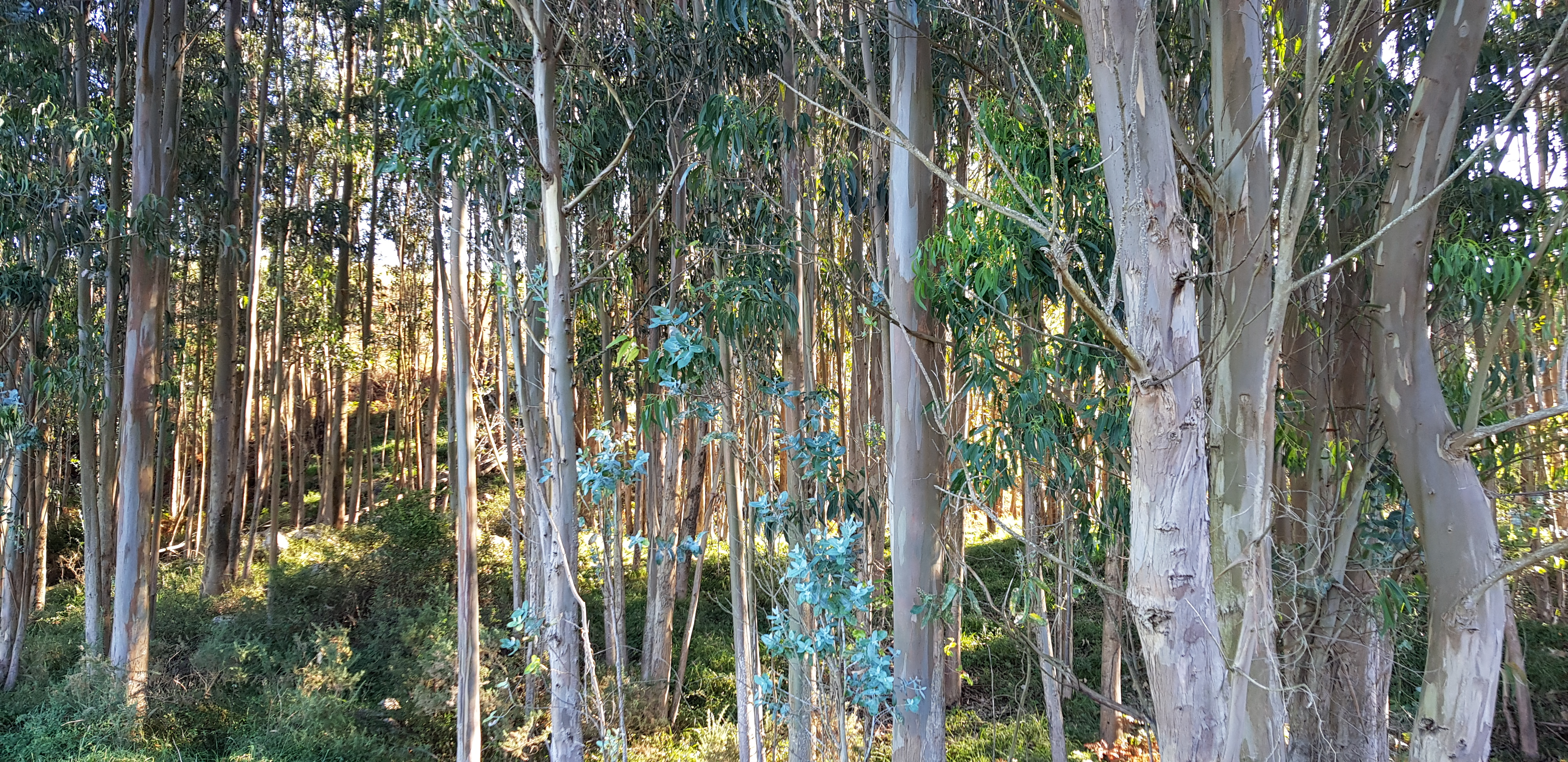 Eukalyptus-Bäume auf dem Weg